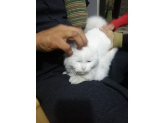 Pure PeRsian female for sale beatifull kitten in Faisalabad