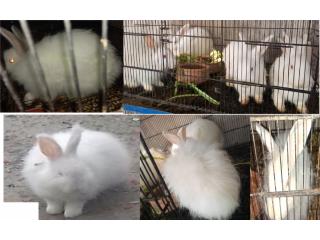 Angora Rabbits breader pairs