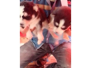 Puppy for sale Serbian Huskey