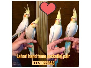 Fully Hand Tamed and Trained Common white Cocktail pairs. Neat and clean Very friendly healthy active Never Bites.
