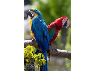 Blue Gold macaw birds parrot zuhaib. Pet planet.. ????????