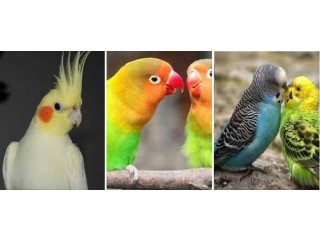 Budgie parakeet and cockatiel and lovebirds needed