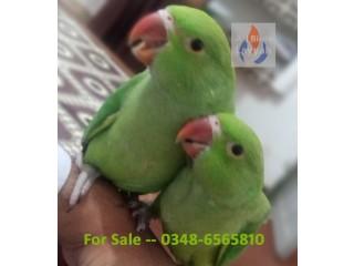 Handtame green ringneck for sale