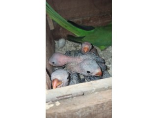 Ringneck pin feather chicks for sale