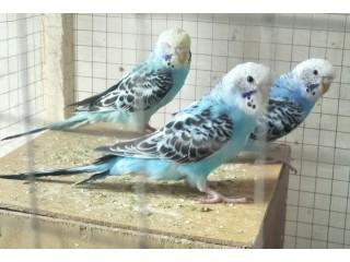 Adult budgries parrot