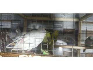 Aurstailian Parrots