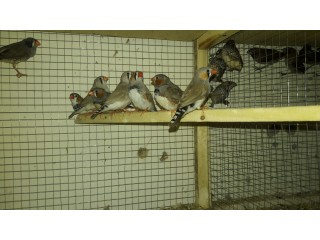 Finch mix mutation for sale