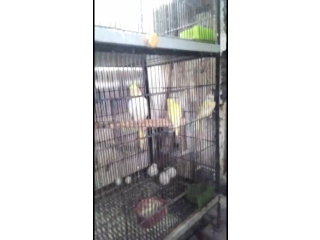 Common Good Quality Cockatiel available in lahore
