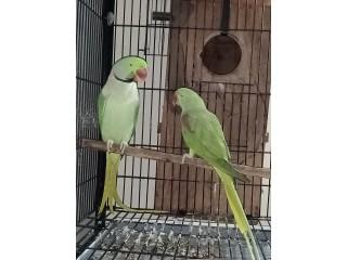 Row parrot