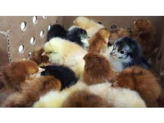 Desi choza or gunie flow chicks for sale