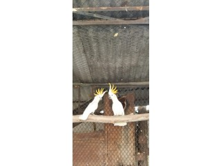 Citron Cockatoo Breeder Pair for sale