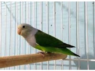 Madagascar Lovebird Parrot