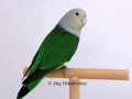 madagascar-lovebird-parrot-small-0