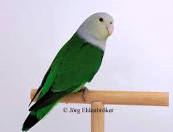 madagascar-lovebird-parrot-big-0