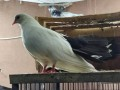 pigeons-for-sale-small-2