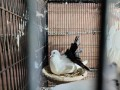 pigeons-for-sale-small-1