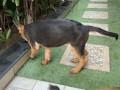 german-shephard-female-puppy-3-months-small-2
