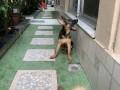 german-shephard-female-puppy-3-months-small-4