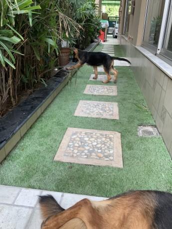 german-shephard-female-puppy-3-months-big-1