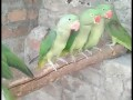 young-and-adult-alexandrine-males-and-females-small-2