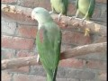 young-and-adult-alexandrine-males-and-females-small-1