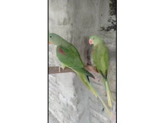 Young and Adult Alexandrine Males and Females