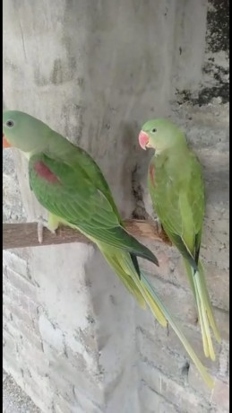 young-and-adult-alexandrine-males-and-females-big-0