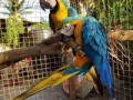 healthy-parrot-birds-available-small-1