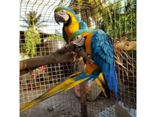 HEALTHY PARROT BIRDS AVAILABLE