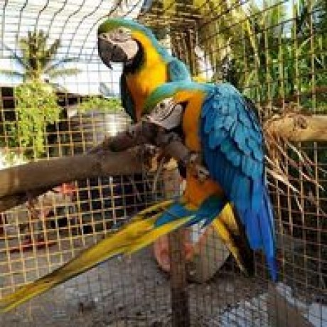healthy-parrot-birds-available-big-1