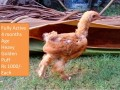heavy-golden-puff-chicks-small-2