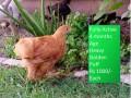 heavy-golden-puff-chicks-small-3