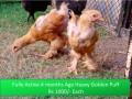 heavy-golden-puff-chicks-small-4