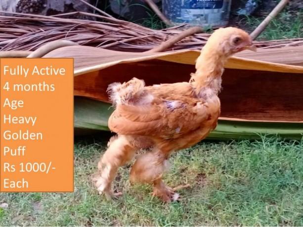 heavy-golden-puff-chicks-big-2