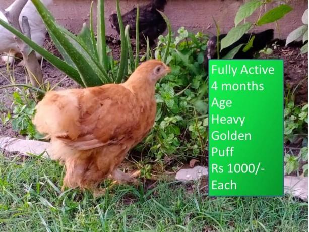heavy-golden-puff-chicks-big-3