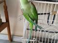 home-raised-alexandrine-female-talking-parrot-small-2