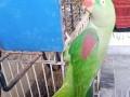 home-raised-alexandrine-female-talking-parrot-small-3