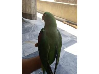 Home Raised Alexandrine Female Talking Parrot