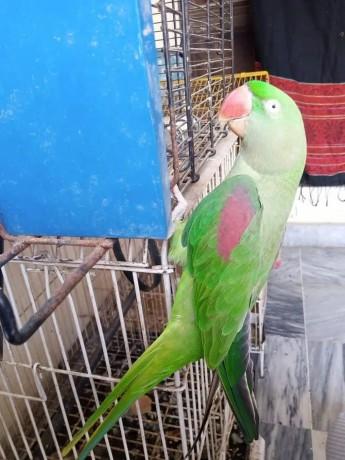 home-raised-alexandrine-female-talking-parrot-big-3