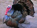 turkey-pairs-for-sale-in-lahore-small-0