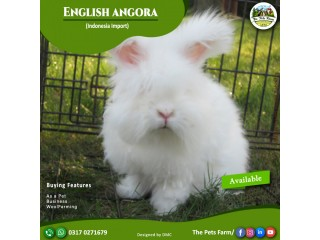English Angora Rabbit Full Face Imported Indonesian Bloodline Adult Pair