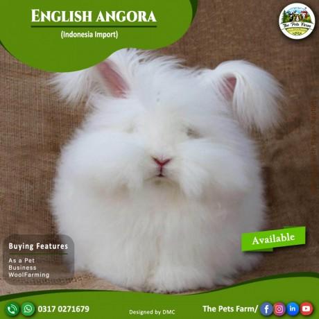 english-angora-rabbit-full-face-imported-indonesian-bloodline-adult-pair-big-3