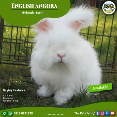 english-angora-rabbit-full-face-imported-indonesian-bloodline-adult-pair-big-4
