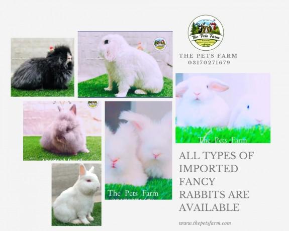 english-angora-rabbit-full-face-imported-indonesian-bloodline-adult-pair-big-0