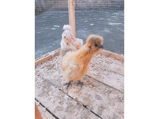 Good partridge silkie
