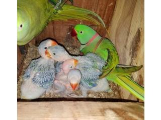 Raw Chicks