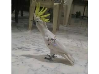 Sulphur Cockatoo