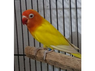 Lutino personata red eye breeder male
