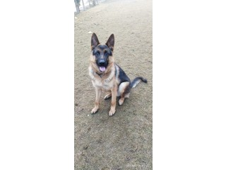 GSD MALE