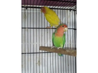 Peach face male with luttino female